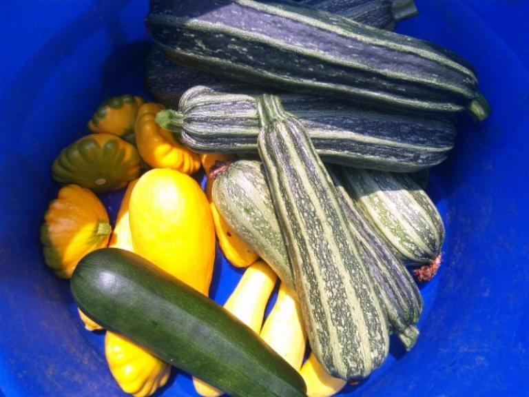 http://solidground.farm/wp-content/uploads/2017/03/first-summer-squash-harvest.jpg