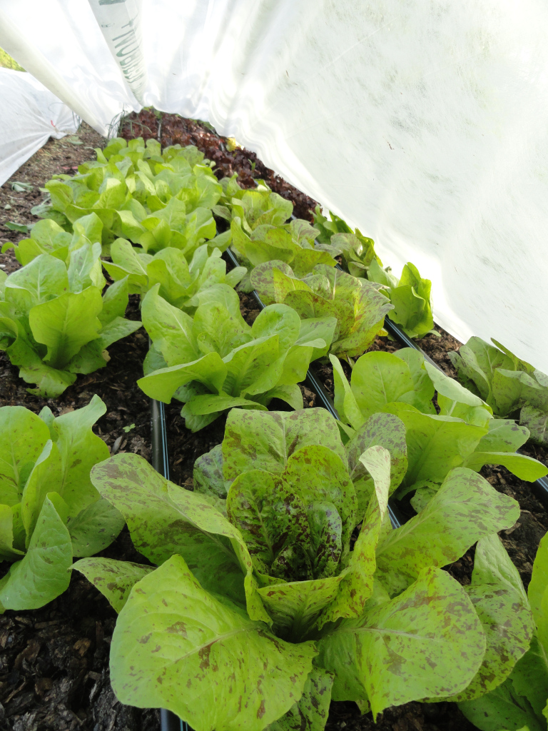 http://solidground.farm/wp-content/uploads/2017/03/forellenschluss-lettuce-under-cover.jpg